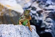 Green Iguana, American Iguana Is A Lizard Reptile In The Genus Iguana In The Iguana Family. And In The Subfamily Iguanidae.
