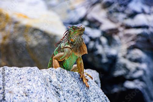 Photo Green iguana, American iguana is a lizard reptile in the genus Iguana in the iguana family