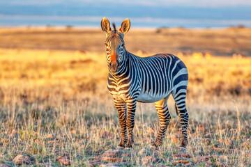 An alert Cape mountain zebra (Equus zebra) in the Mountain Zebra National Park, South Africa.