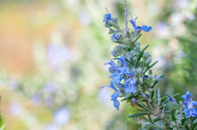 Rosemary In Bloom As Main Subject Of A Nature Blurred Background