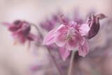 Fototapeta Kwiaty - Różowe kwiaty - Aquilegia