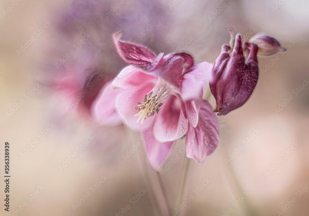 Fototapeta Różowe kwiaty -Orliki