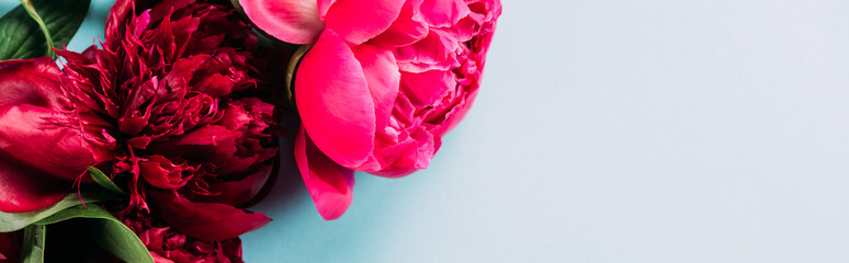 top view of colorful pink peonies on blue background, panoramic shot