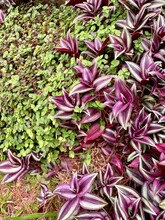Wandering Jew And Green Grass.