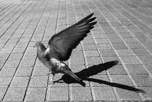 Pigeon Qui S'envole Sur Des Pa...