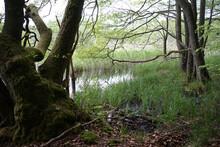 Moss Grown Alder Trees Landscape                        In Conservation Area Feldberger Seenlandschaft.