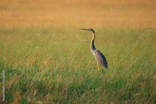 Purple Heron - Ardea purpurea on wetland Fotobehang