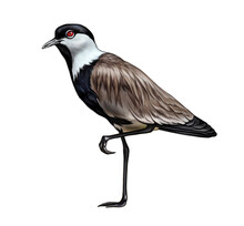 Spur-winged Lapwing, Spur-winged Plover (Vanellus Spinosus)