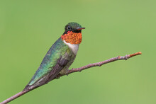 A Male Ruby-throated Hummingbird Perched.