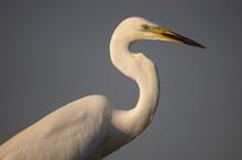 Great White Egret Portrait