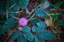 Sensitive Plant, Sleepy Plant Or The Touch Me Not.herb Flower.