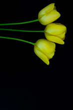 Three Yellow Tulips On A Black Background