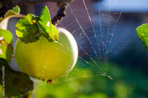 Fotomural Green apple on the branches, leaves of the apple tree shrouded in cobwebs