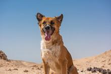 Stray Wild Desert Dog Sat In W...