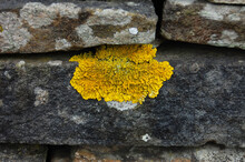 Yellow Lichen Growing On Dry S...