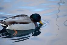 Beautiful Male Mallard Duck Sw...