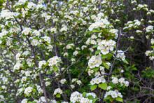 White Flowers Of A Thornbush