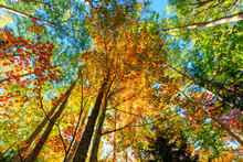 Looking Up At Colorful Autumn ...