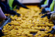 Sorting Corn Close-up On The C...