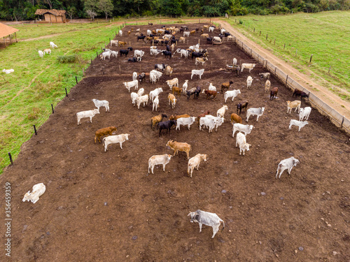 Photo Livestock in confinement, oxen, cows, sunny day
