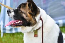 Dog Breeds American Akita On A...