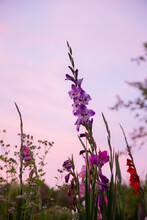 Gladiolus With Pink Sky At Dus...