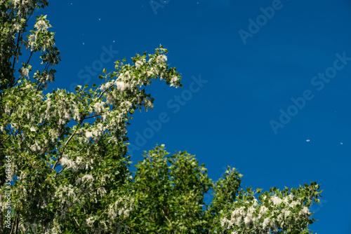 White fluff flies from a female poplar tree against a blue sky Wallpaper Mural