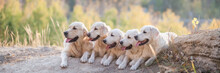 Five Puppies Of A Golden Retriever In The Summer Outdoors, Long Size. Selective Focus, Sunlight
