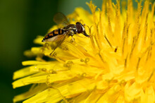 Hoverfly On Dandelion Closeup