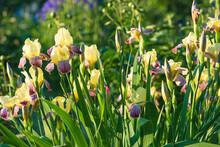 Beautiful Blooming Yellow Iris On Sunny Summer Garden