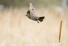 Side View Of A Sparrow Taking Flight From A Cattail In A Pond