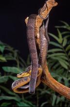Blandings Tree Snake Coiled In...