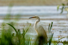 White Heron On The Hunt By The Lake