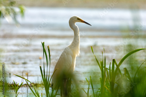 Tela White heron on the hunt by the lake