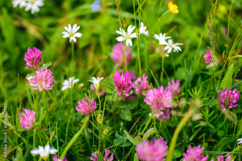 Pink clover flowers and other wildflowers on a green lawn.