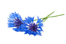 Two Blue Cornflowers On A Whit...