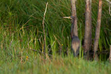 Tricolored Heron, Solitary And Rests Amid Its Foraging Lakeside Among Tall Grasses