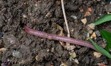 Earthworm In The Garden