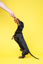 Obedient Dachshund Performs Trick, Standing On Hind Paws In Full Growth And Receives Tasty Dried Pet Treat As Reward. Vertical Photo Of Cute Dog With Snack In Teeth, Copy Space For Advertising Text.