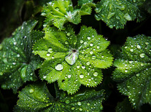 Water Drops On Green Leaves, ,...