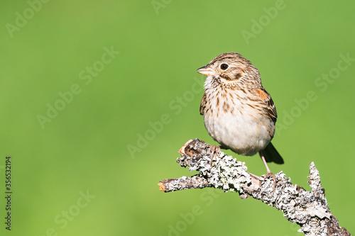 Fotografija Vesper Sparrow on a perch with a green background