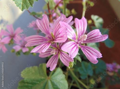 Fototapeta Lavatera thuringiaca plant, pink lilac mallow flower, close-up, outdoors. obraz na płótnie