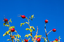 Rosehip Tree And Fruity, Roseh...