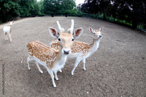 Male and female Fellow deer nice couple Wallpaper Mural