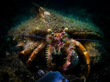 A Portrait Of A Hermit Crab