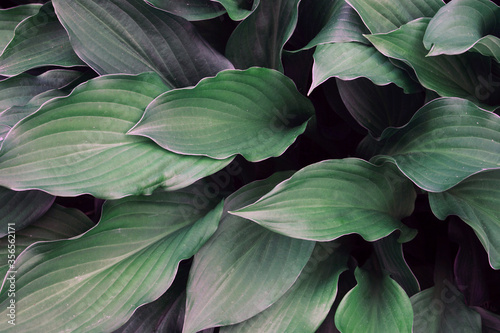 natural green background with large leaves. Fototapet