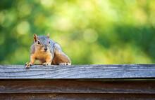 Cute Eastern Fox Squirrel (Sci...