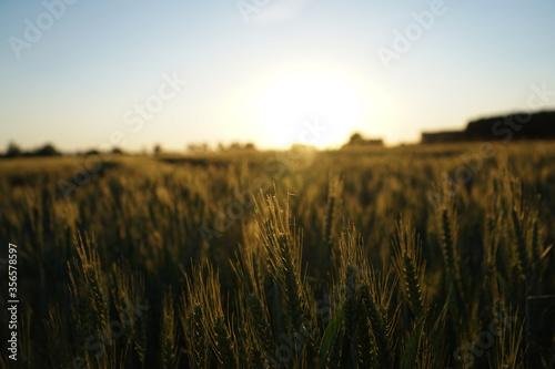 Weizenfeld beim Sonnenuntergang Fotobehang