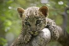 One Tiny Baby Leopard With Big Eyes Portrait Close Up Sitting In Tree In Kruger Park South Africa