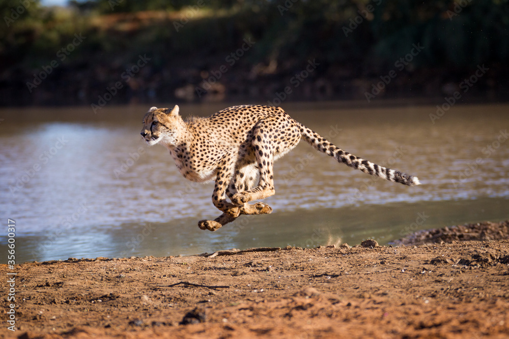 Fototapeta One adult cheetah female running at full speed chasing prey at the edge of water in Kruger Park South Africa